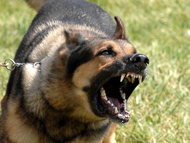 évaluation comportementale chien mordeur