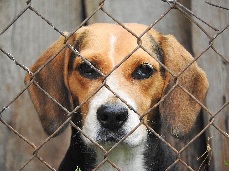 beagle-938013_960_720