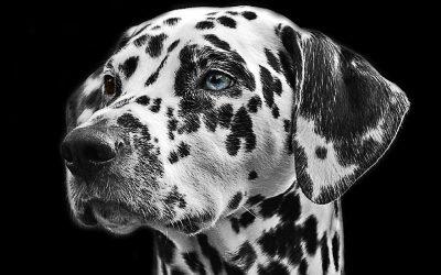 Éducation Chien Sourd : Comment éduquer un chien sourd ?