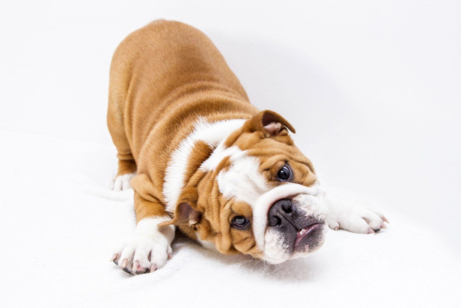 puppy-3785835_1920