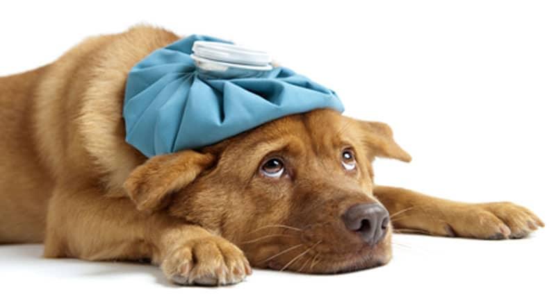 chien-malade-toux-du-chenil