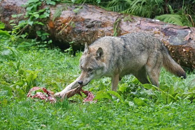 Le comportement alimentaire du chien vient parfois de ses ancêtre les loups
