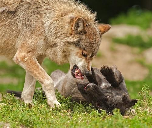 chez le chien comme chez le loup la mère éduque les petits, comprenez comment mieux communiquer avec votre chien comme l'aurait fait sa mère