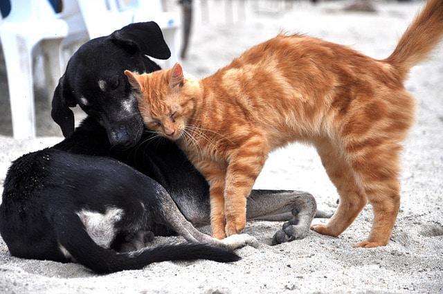 Lors de contact avec d'autres animaux les puces sont transmises