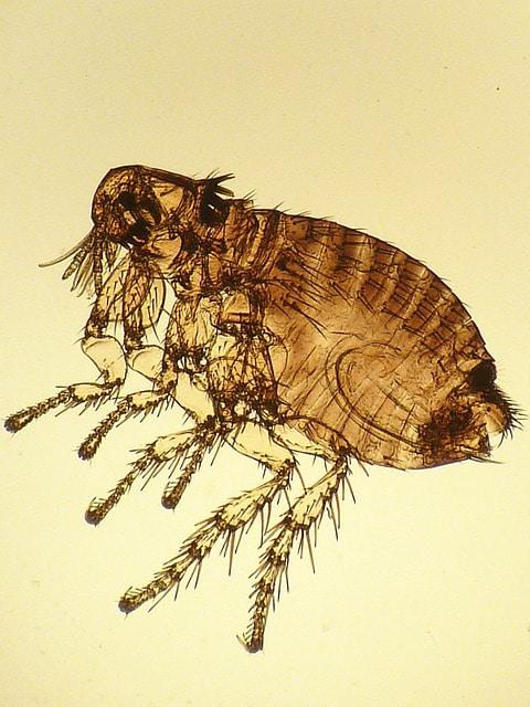 Ce parasite est un insecte qui peut être vecteur de maladies, les combattre naturellement grâce aux conseils des éducateurs canin respectdogs