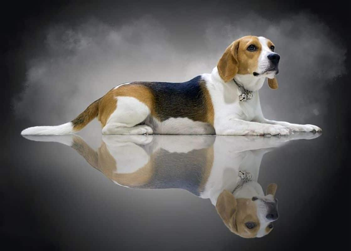 Quelles sont les caratéristiques du Beagle, par les éducateurs canins respectdogs