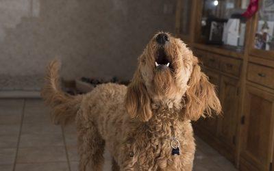 Mon chien aboie, que faire ?