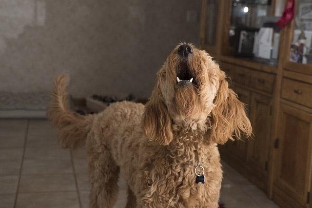 Comment calmer les aboiements de mon chien, les conseils des éducateurs canins respectdogs de rouen