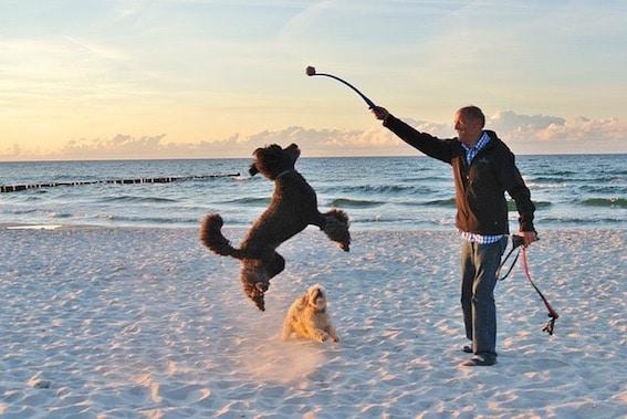 les aboiements du chien dans l'excitation, comment les calmer et comprendre, les conseils en éducation canine par respectdogs seine-maritime