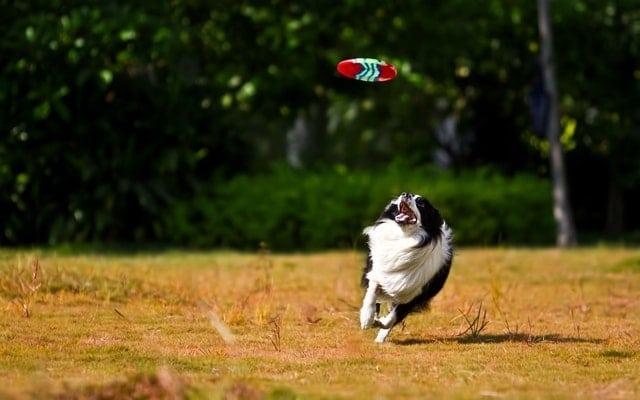l'ostéopathie pour le chien de sport