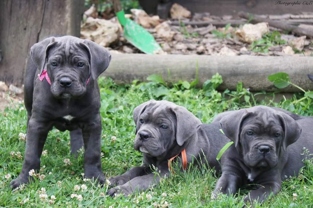Trois chiots Cane Corso dans la cour par les éducateurs canins respectdogs