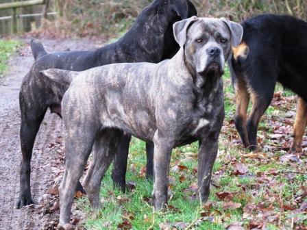 Quel sont les caractéristique du Beagle, le blog de respectdogs vous dit tout sur ce chien