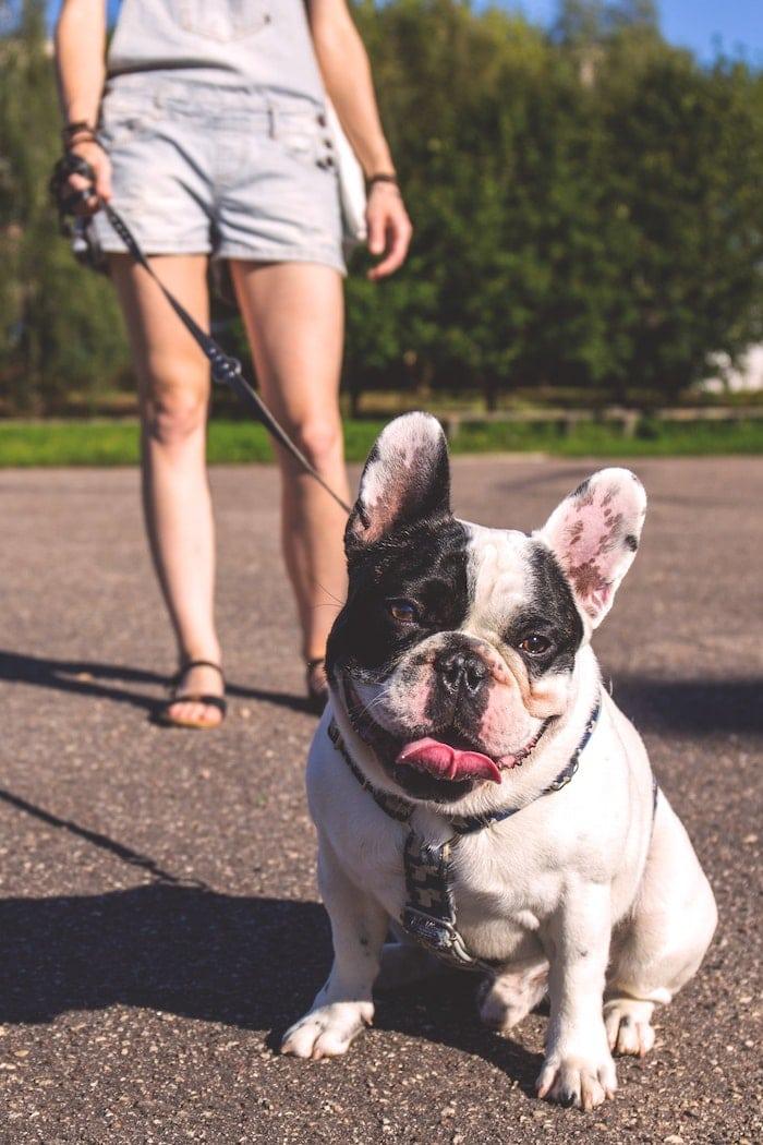 evaluation-comportementale-chien-bulldog