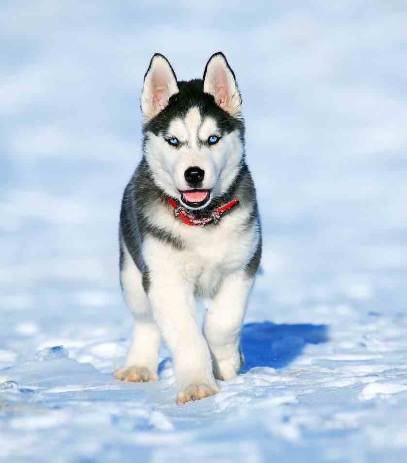 dressage chien avalanche