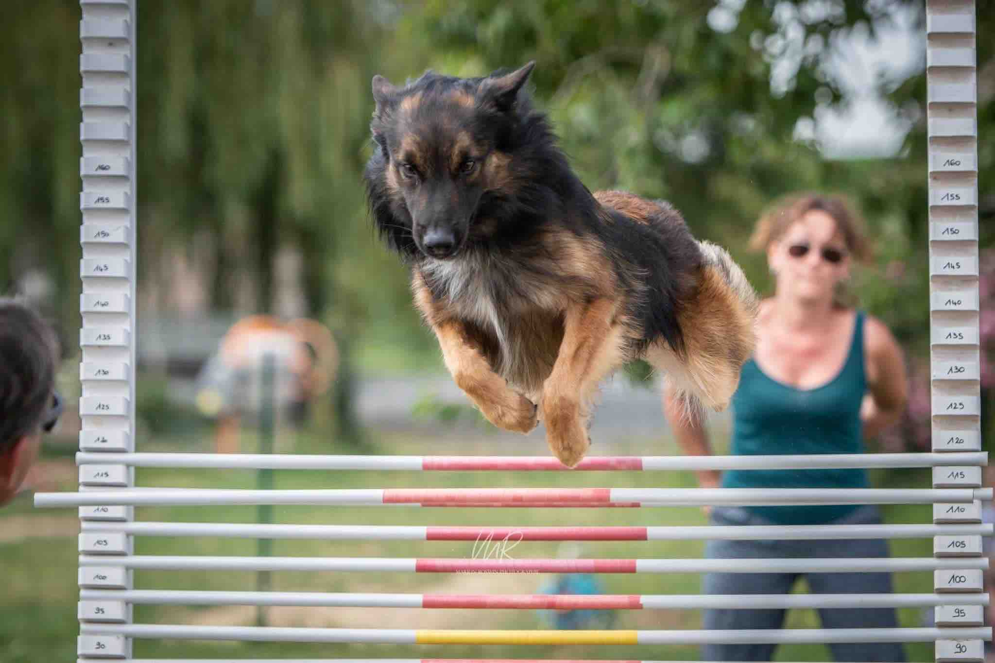 dog cross fit saut en hauteur
