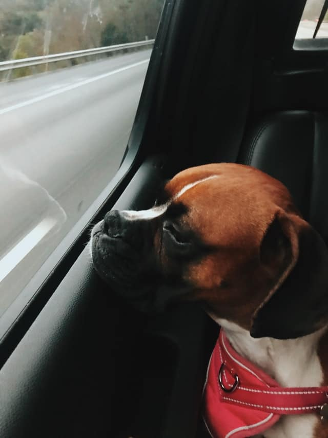 Chiot Boxer assis à l'arrière d'une voiture regarde par la fenêtre