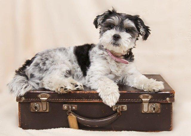 Chien couché sur une valise