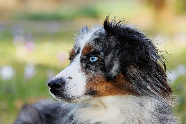 berger australien bleu merle aux yeux bleu
