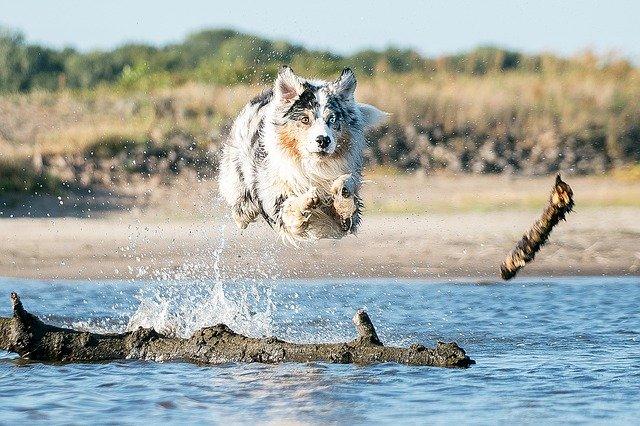 Berger Australien qui saute dans l'eau
