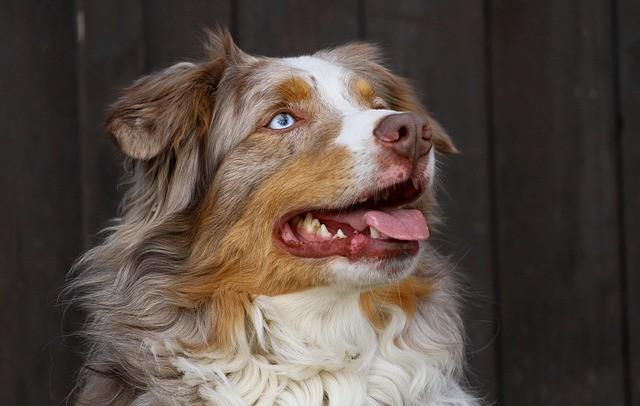 Berger australien rouge merle aux yeux bleu