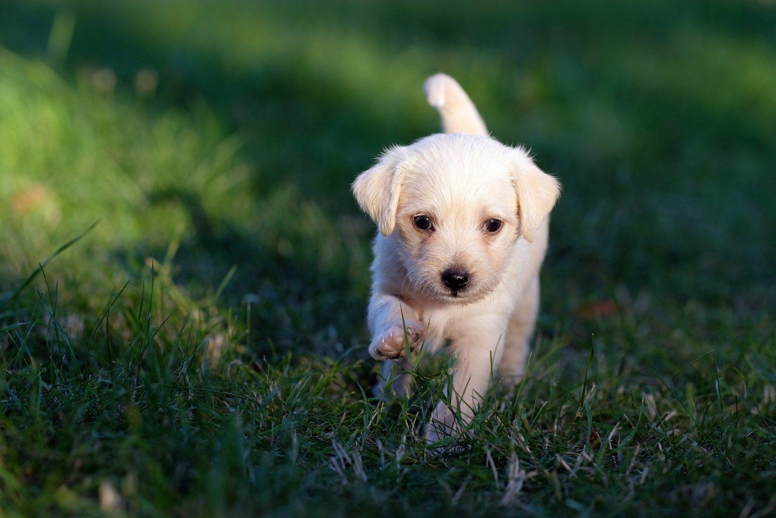 Chiot qui marche dans l'herbe