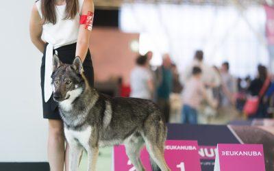 Handler pour chien : l'art de présenter un chien en exposition