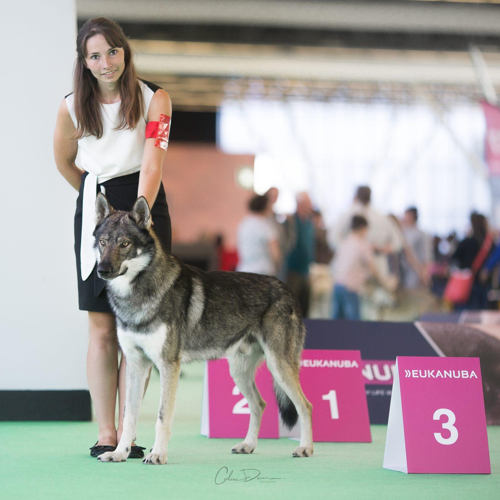 Chien loup présenté à une exposition canine