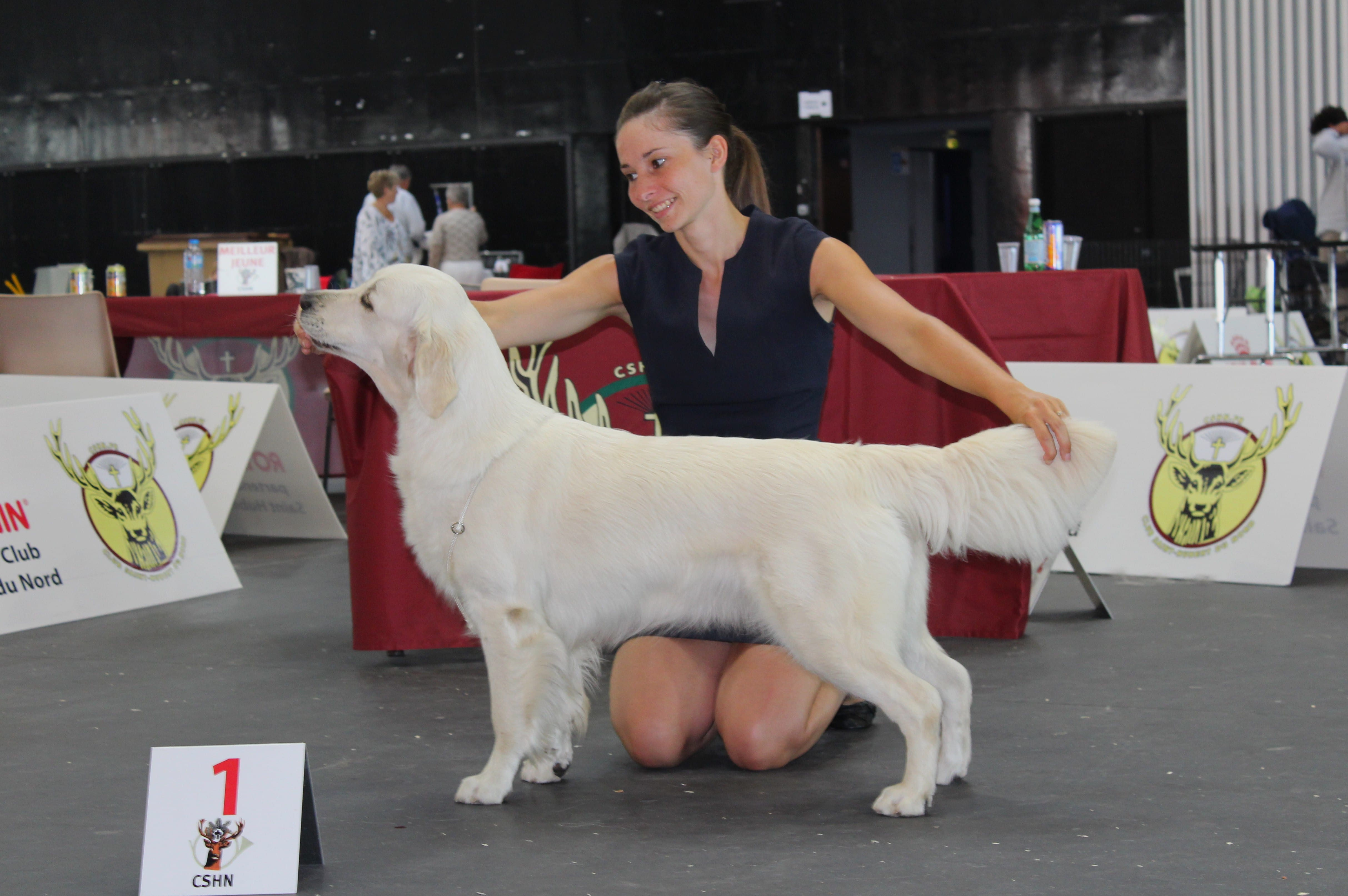 Golden retriever en exposition canine