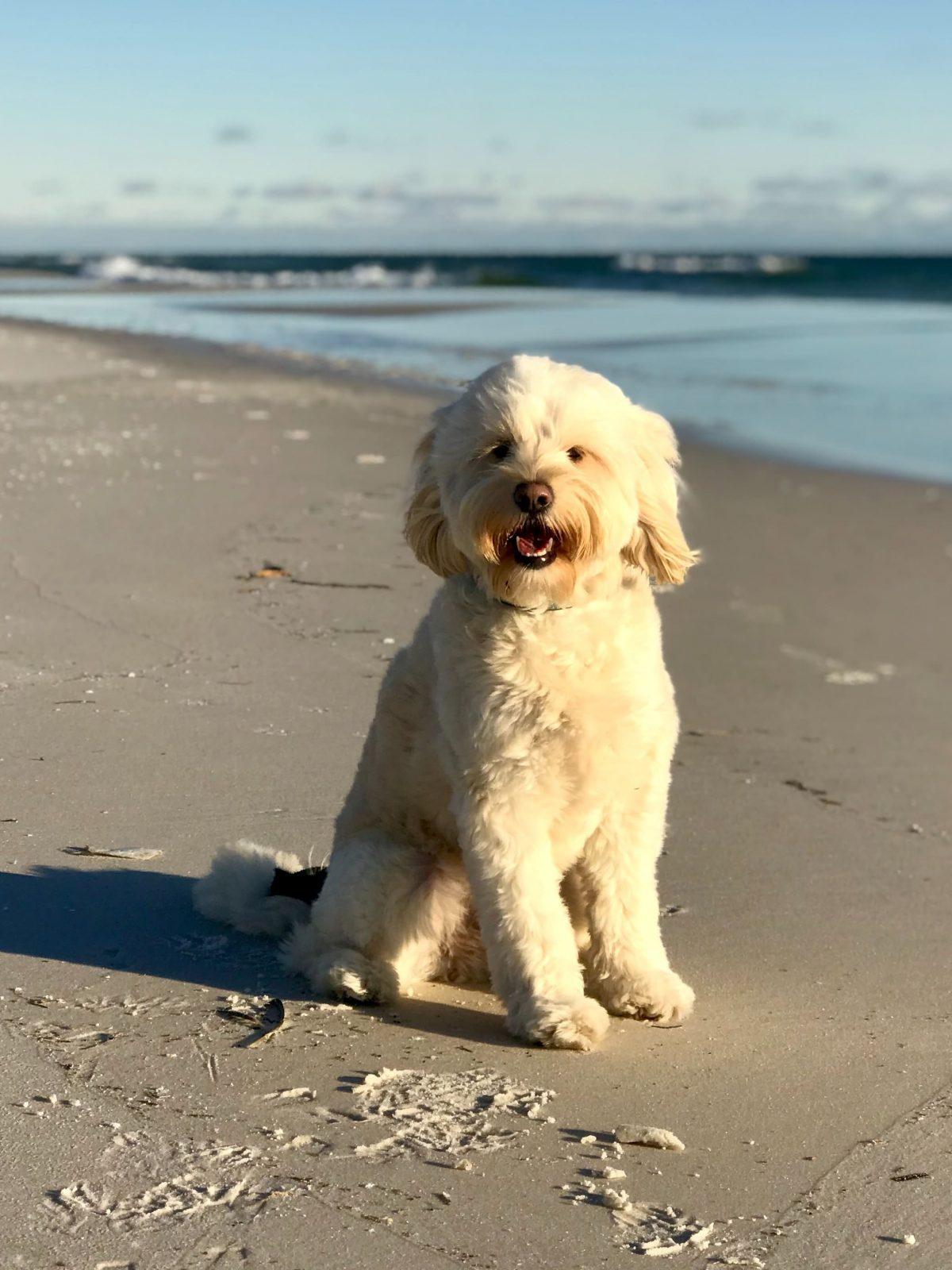 Petit chien blanc assis sur la plage