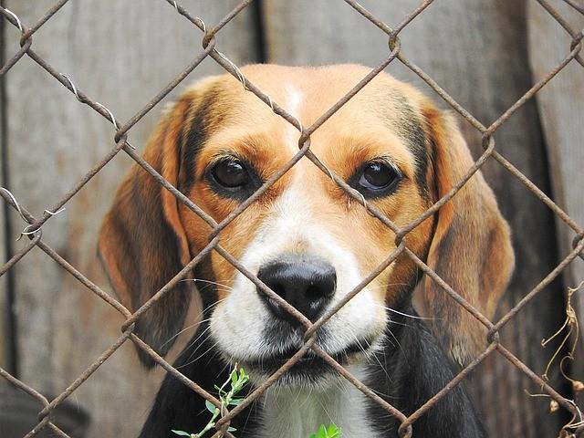 beagle en refuge