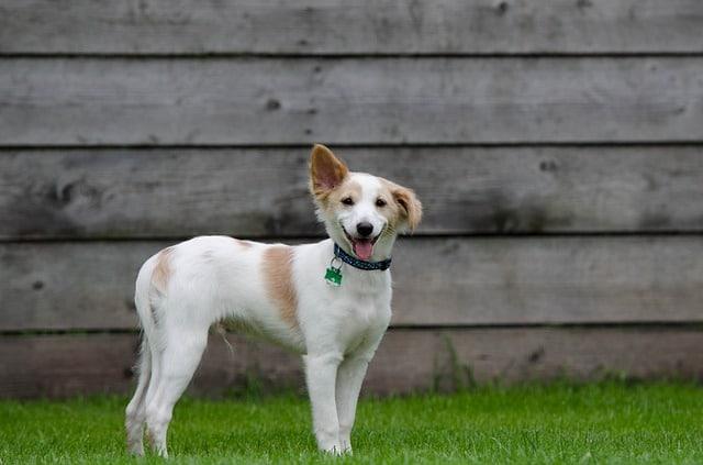 Petit chien attentif dans sa cour