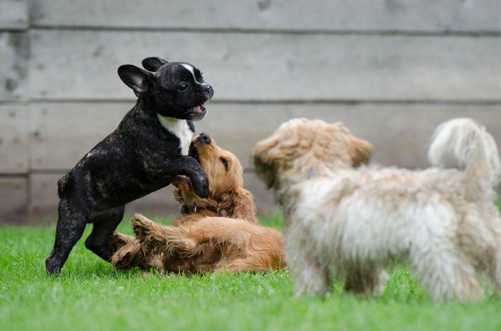 jeunes chiens qui jouent ensemble