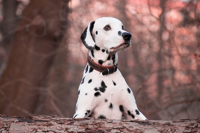 Quel collier choisir pour un chien qui tire ?