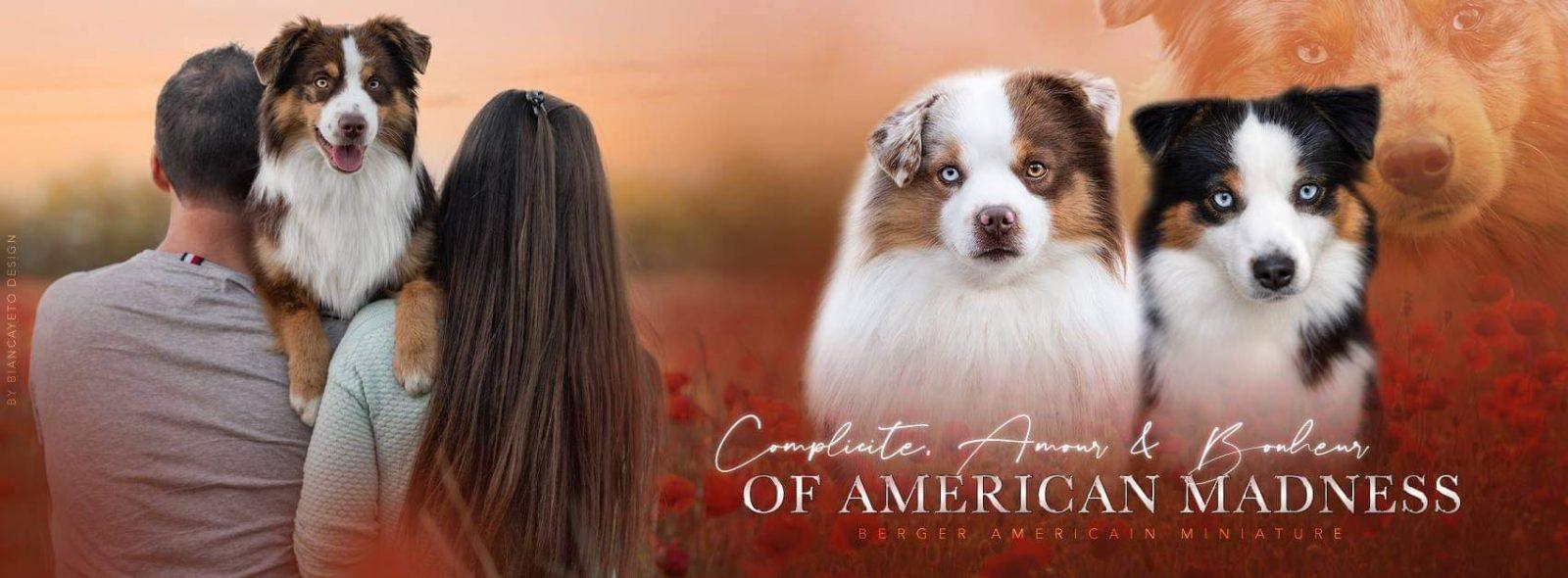 élevage berger américain miniature of american madness