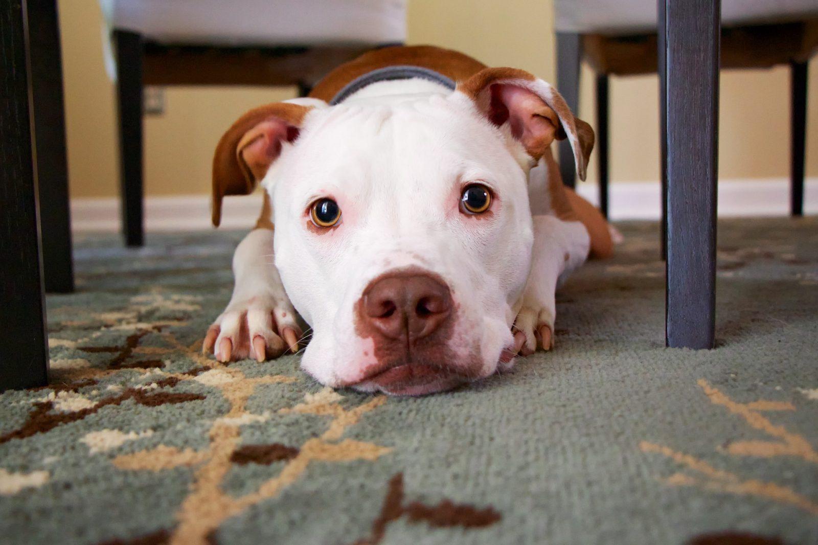 désensibilisation chien peureux