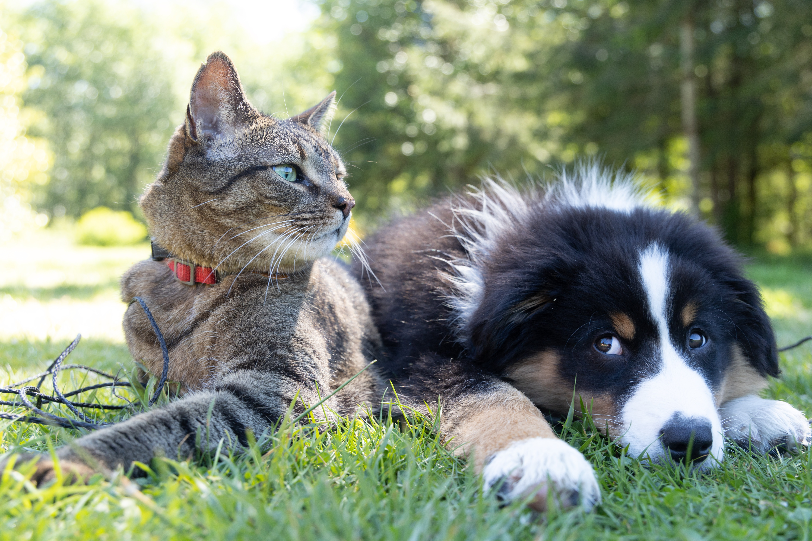 comment faire accepter un chaton à un chien