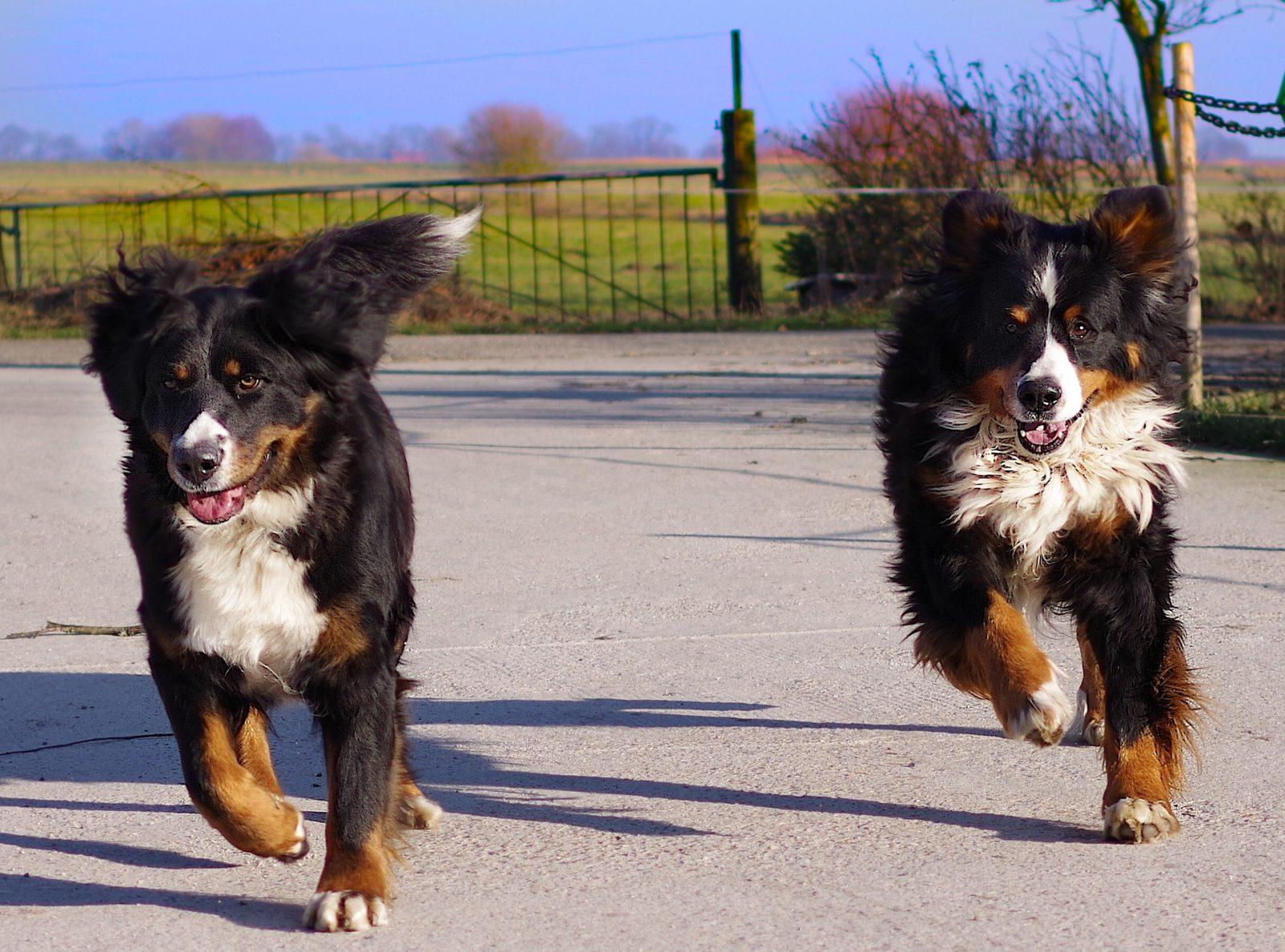 avantages d avoir deux chiens