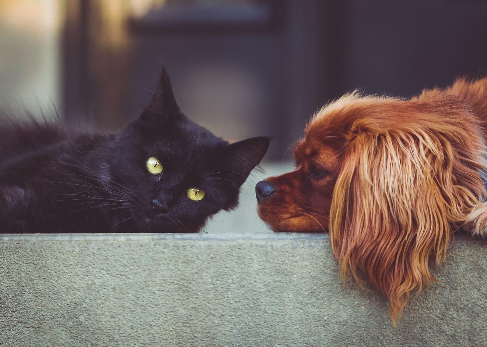 race de chien compatible avec les chats