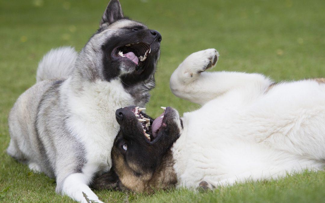 Avoir deux chiens à la maison : bonne ou mauvaise idée ?